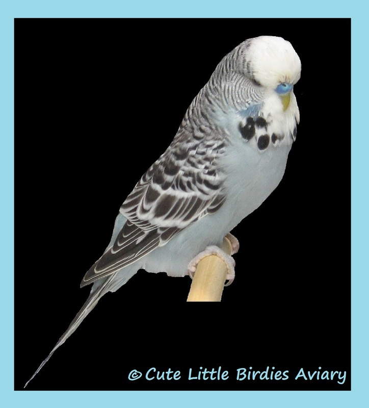 Before And After Molt- How English Budgies Change - Cute Little