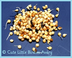 Seed Sprouts- An Excellent Addition To A Budgies Diet - Cute Little