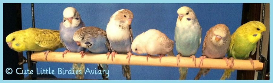 Should You Get Another Budgie? - Cute Little Birdies Aviary